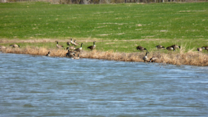 image of geese at project site