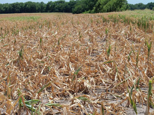image of corn fields in drought