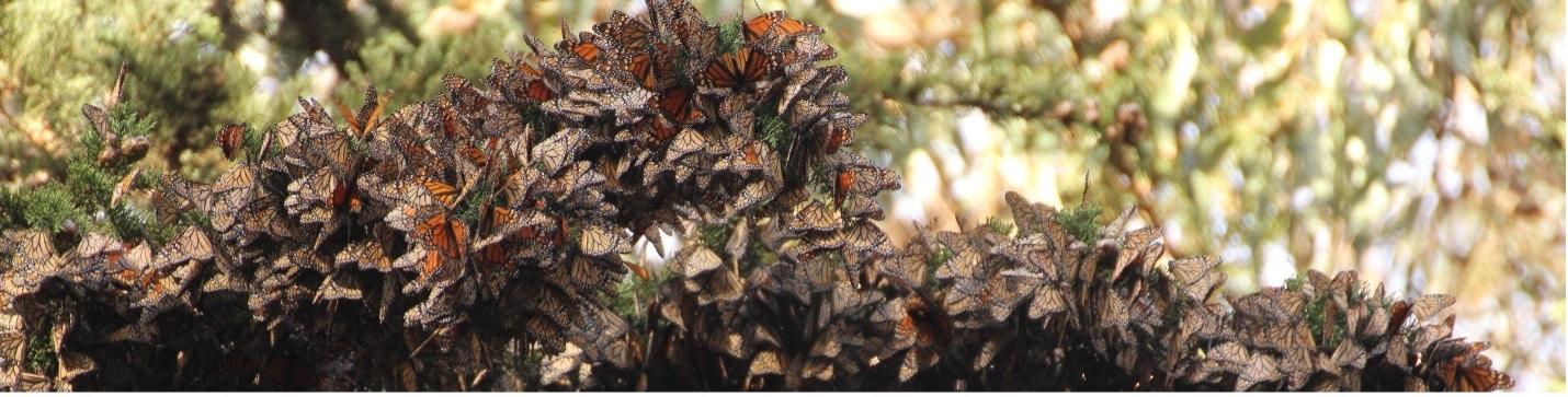monarch conservation