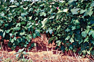image of No-till cotton